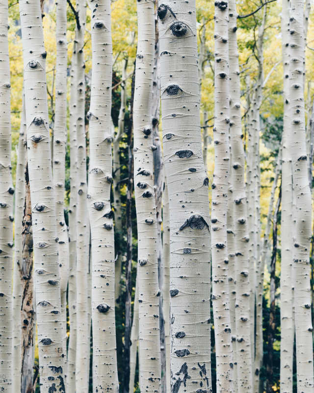 Finnish Birch